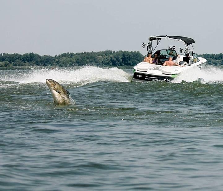 Tisza-tó - tele hallal!