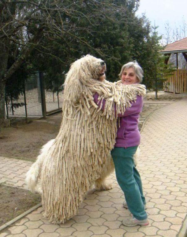 огромные собаки, которые считают себя щенками (5)