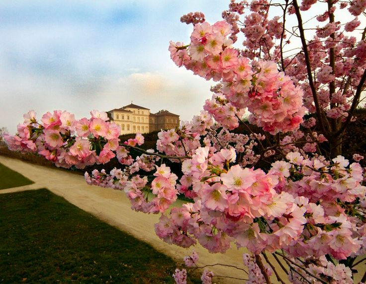 Ciliegi in fiore nei Giardini de La Venaria Reale! #Torino