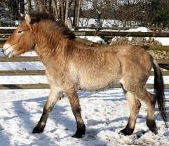 Bildergebnis für przewalski pferde