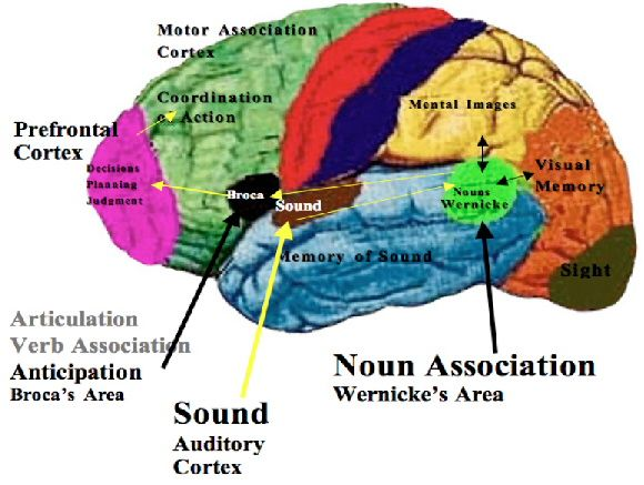 Areas such as, the Brocas' area, the Wernicke's are, and the Auditory Cortex. Description from pinterest.com. I searched for this on bing.com/images