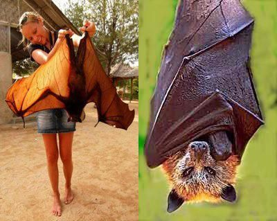 The giant golden-crowned flying fox, also known as the golden-capped fruit bat, is a rare megabat and one of the largest bats in the world. The species is endangered and is currently facing the possibility of extinction because of poaching and forest destruction.