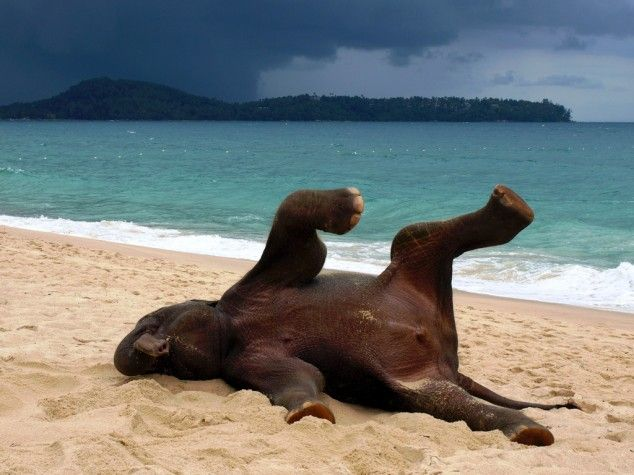 baby elephant on a beach in phuket, thailand...playing in the sand!