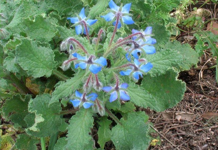 La borragine è una pianta molto comune che cresce ovunque con i suoi fiori blu a stella: nei prati incolti, nei bordi delle strade, lungo i muretti, nei giardini, tra le macerie, ecc. fino a 1000 m di altitudine. Si suppone che sia originaria del Medio Oriente ma oramai è naturalizzata in quasi tutto ... [Read more...]