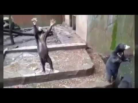 VIDEO : Beruang Madu Memakan Kotorannya Sendiri di Kebun Binatang Bandung Menjadi Sorotan Dunia Beruang Madu kita  - @Regrann from @infia_fact  Kondisi Beruang Madu di Kebun Binatang Bandung Jawa Barat sangat mengkhawatirkan. Hewan lucu tersebut terlihat meminta makanan setiap ada pengunjung yang mendekati.  Dari video yang diunggah oleh Scorpion Wildlife Trade Monitoring Group Beruang Madu tersebut meminta makanan dengan cara berdiri kepada pengunjung.  Para pengunjung pun melemparinya…