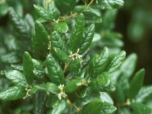 BOLDO L'utilisation du boldo aurait été transmise de l'époque des Incas et la plante est utilisée de la même façon encore aujourd'hui pour un large éventail de problèmes d'estomac, de troubles digestifs et de problèmes de foie. Les feuilles de Boldo sont utilisées pour traiter la vessie et les infections des voies urinaires, la vésicule biliaire, les calculs biliaires, les brûlures d'estomac, l'indigestion et les crampes d'estomac.