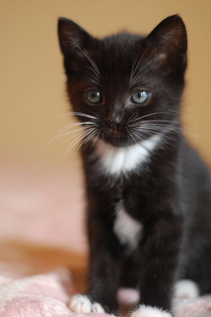 Little black and white kitten.