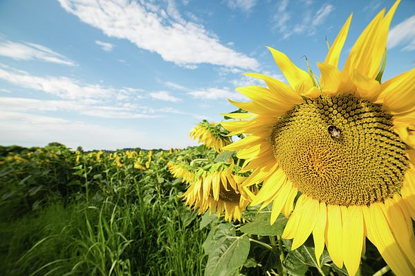 Fields of gold. Sunflowers. Sun and life in the fields.