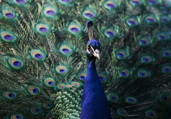 Springtime in Warsaw, Poland: A peacock struts its stuff in Lazienki Park, the largest park in the capital. Photograph: Kacper Pempel/Reuters
