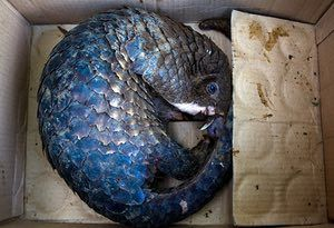 A sunda pangolin ( <em>Manis javanica</em> ). In 2014 the sunda pangolin was listed as critically endangered on the IUNC red list of endangered species.