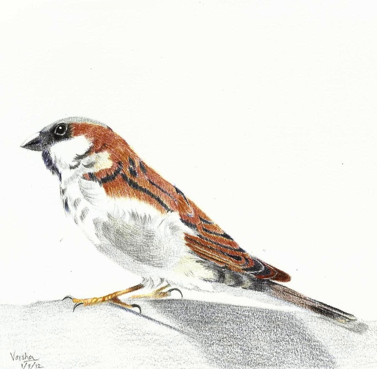 Indian Sparrow in 24 shades of Faber-Castell colored pencils by Varsha