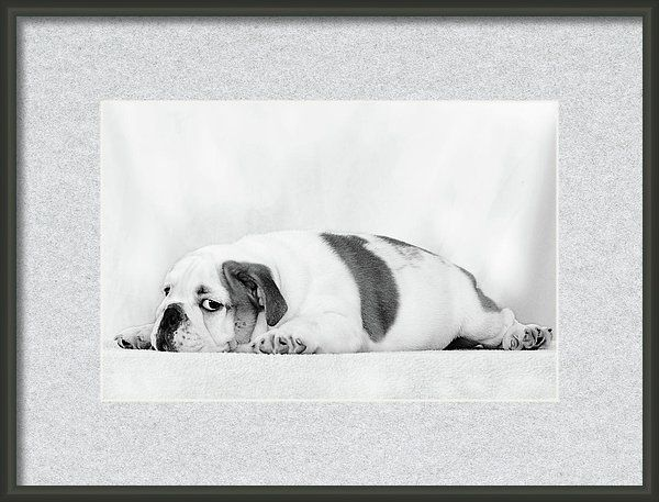 I Was Offended By Irina Safonova, sad puppy English bulldog clousup Framed Print featuring the photograph I Was Offended by Irina Safonova#IrinaSafonova#Works  #FineArtPhotography  #HomeDecor #IrinaSafonovaFineArtPhotography  #ArtForHome  #FineArtPrints  #HomeDecor  #Animal#dog#puppy