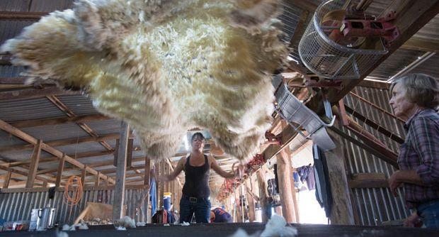 Andrew Chapman. The Shearers. Wool Classing.
