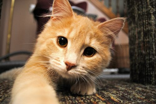 Curious: Orange Cat, Kitty Cat, Cute Cat, Baby Kittens, Gingers Cat, Big Eye, Android App, Fluffy Cat, Orange Kitty