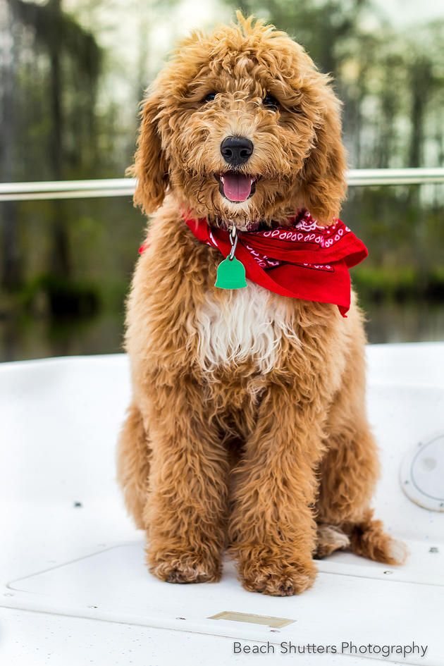 Golden Valley Doodles ~ Yes, you've just found your new love. | Are you ready for the next great love of your life? #breeder #goldendoodle #labradoodle #doubledoodle #goldenvalleydoodles