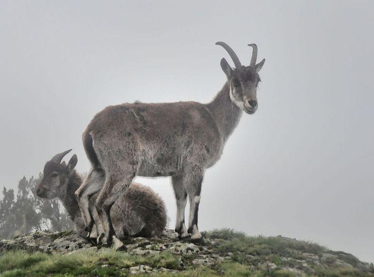 Female Walia Ibex, Simien Mts, Ethiopia (7155770258).jpg