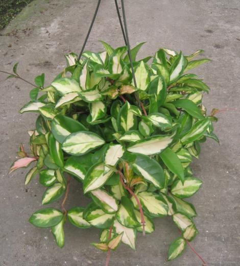 3131 Best Porcelanowy Kwiat Czyli Moje Hoye... Images On