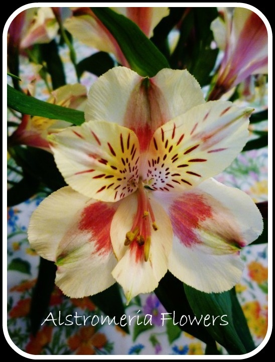 Capturing Photography Memories ~ Cut Alstroemeria Flower Pictures