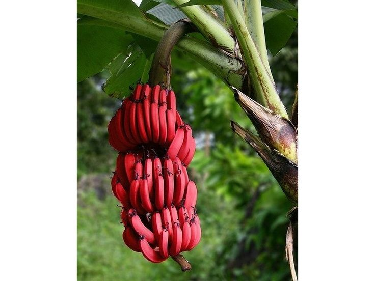 BLOOD BANANA Seeds