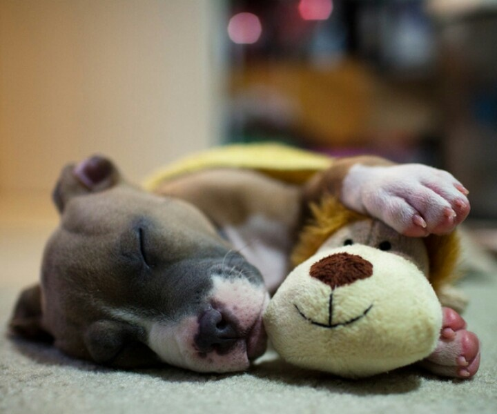 The Amazing World Of Dogs In Photography Pit Bull Puppy Taking A Nap With His Favorite Toy Photo By Allen Normous