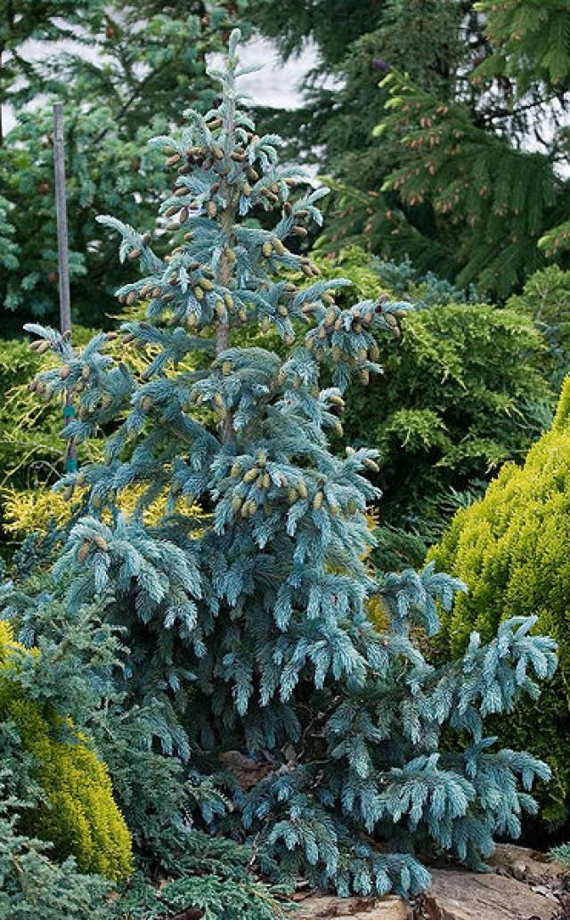 12 Species of Spruce Trees and Shrubs: Engelmann's Spruce