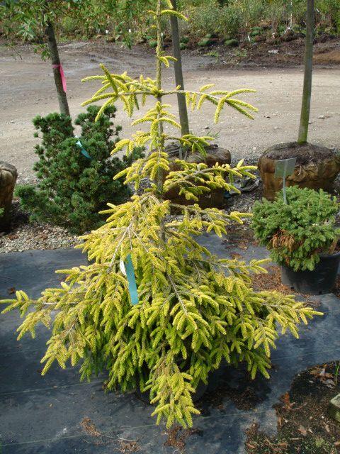 Picea-orientalis-Skylands.jpg (480×640)