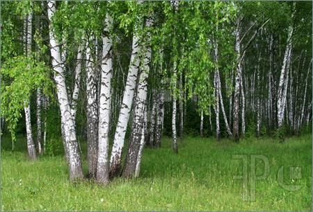 Photo of birch trees with young foliage in a summer forest