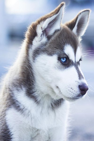 Oh my word. Let's be honest..Siberian huskies are by far the most beautiful dogs EVER