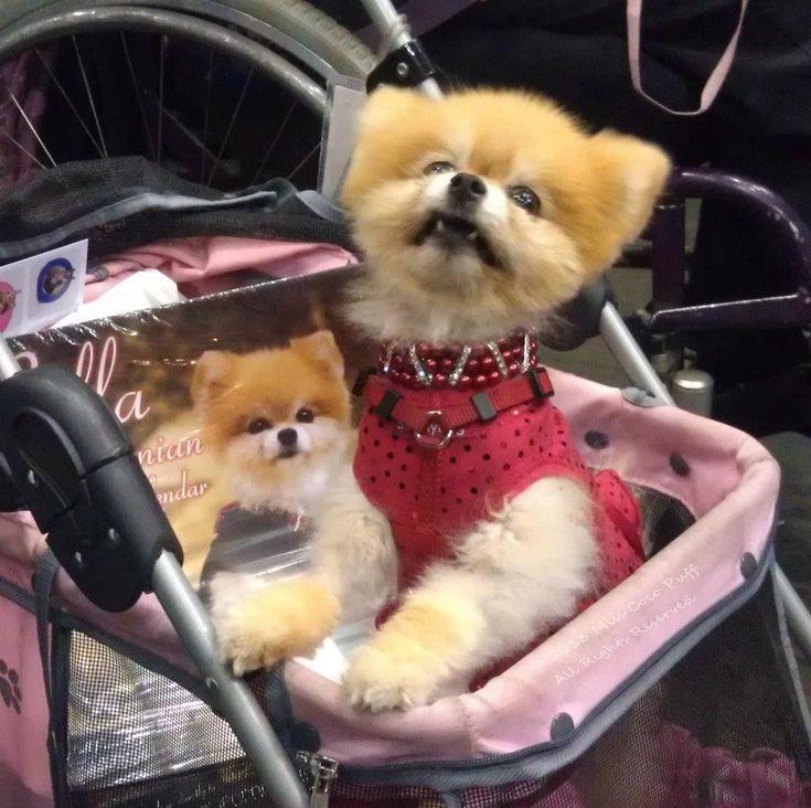 Bella's calendar is a fundraiser for Southern California Pomeranian Rescue!