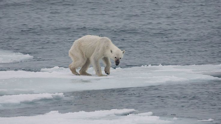 <p>By now, we are all familiar with the idea that Polar Bears are disappearing, but a recent image from Kerstin Langenberger Photography of an emaciated bear in the Arctic solidifies what exactly this means.</p>