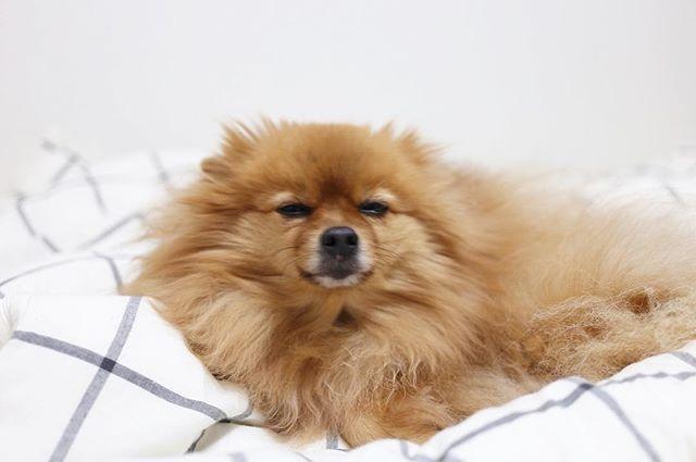 🐾 あーー。ねむ。 . #ポメラニアン #ぽめ #犬 #わんちゃん #たぬき #愛犬 #ポメラニアンが世界一可愛い #犬バカ部 #ふわもこ部 #カメラ女子 #カメラ日和 #ファインダー越しの私の世界 #写真好きな人と繋がりたい #写真部 #写真撮ってる人と繋がりたい #犬好きな人と繋がりたい #ポメ部 #おはよう #Canon #puppy #happy #pomeranian #pom #pomeranianworld #dog #Instadog #petstagram #tagsforlikes #멍스타그램 #개스타그램