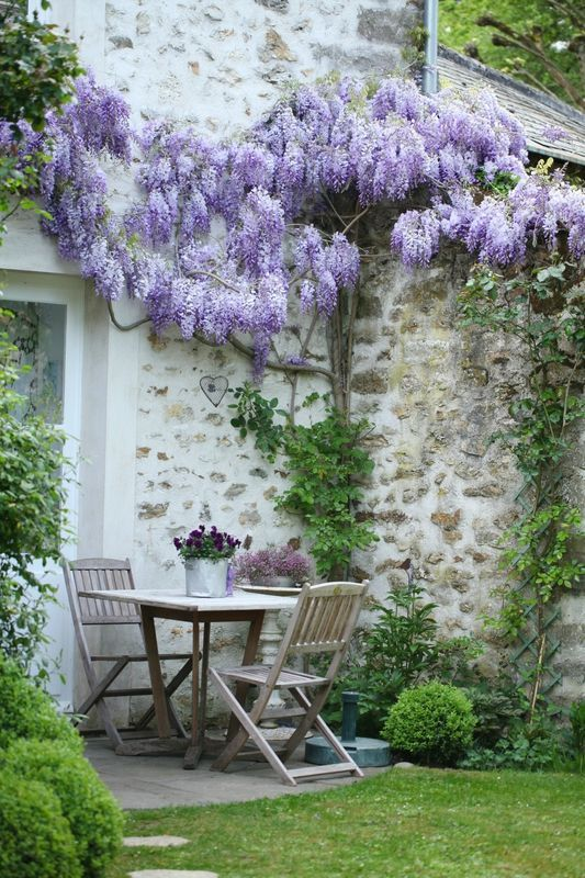 Wisteria where it is at side of house and trained along the entrance walkway and courtyard of main bedroom
