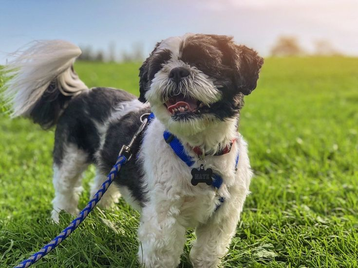 Are You A Proud Shih Tzu S Owner Or Are Shih Tzus Your Favorite Dog Breed How Well Do You Think You Kn Dog Training School Dog Friends Dog Training Techniques