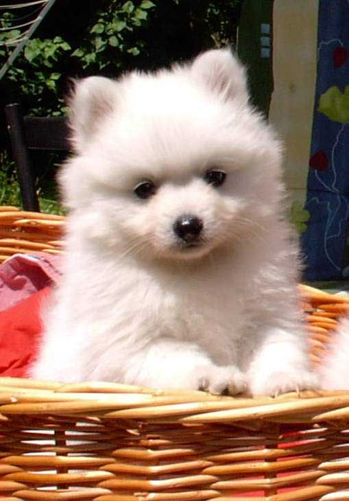 Japanese Spitz don't need an incredibly lengthy stroll once they do go out (just remember that for each certainly one of your methods they'll have to take a lot of much more!) plus a brief stroll under 30 minutes will generally suffice.