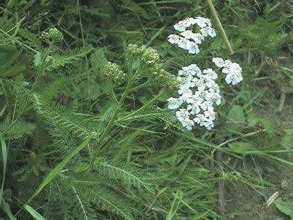 Achillea millefolium duizendblad