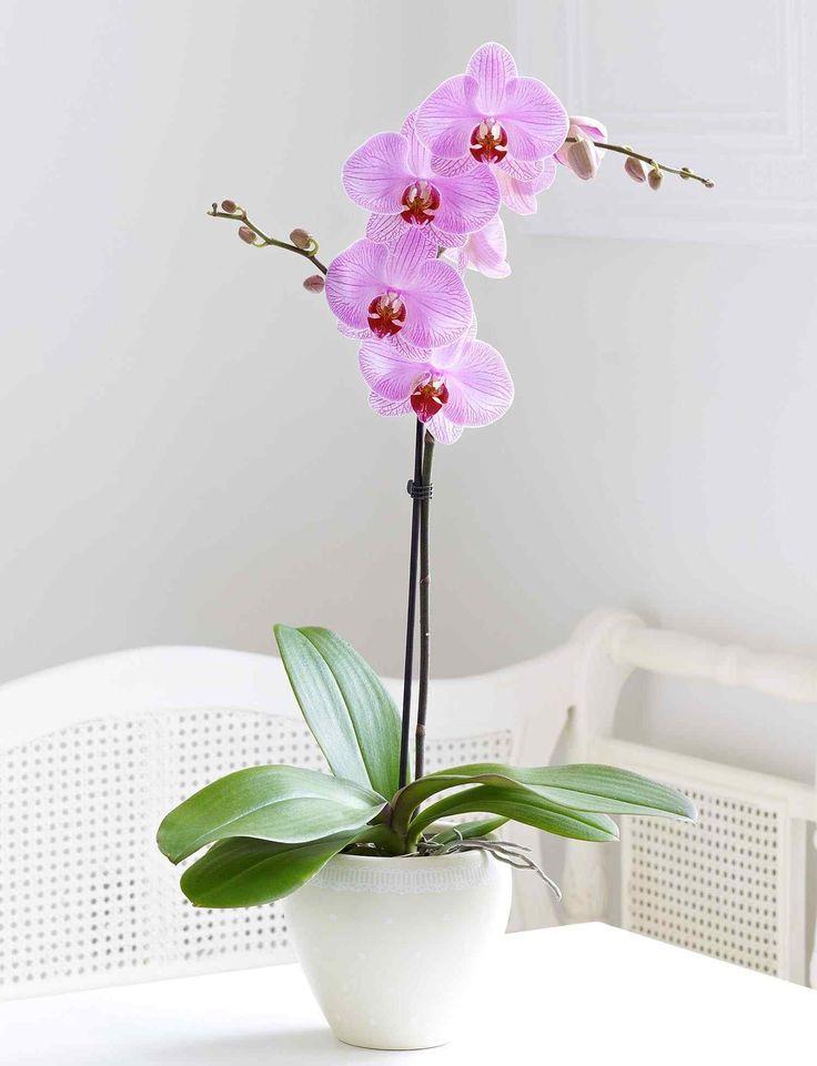 17 meilleures fleurs d 39 orchid es sur pinterest orchid es roses orchid es et fleurs insolites Comment entretenir orchidee