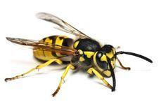 Houd de wespen uit jou buurt met dit product. Dit trucje is zo simpel en goedkoop!