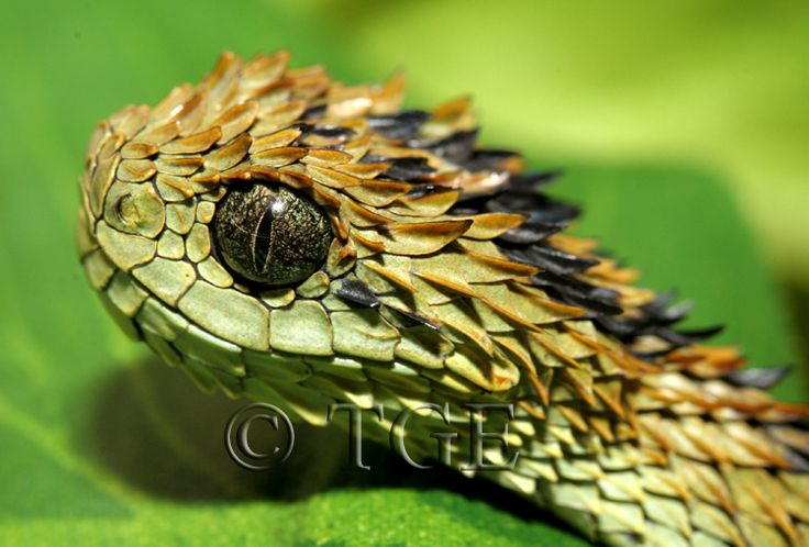 Atheris hispida; Hairy Bush Viper