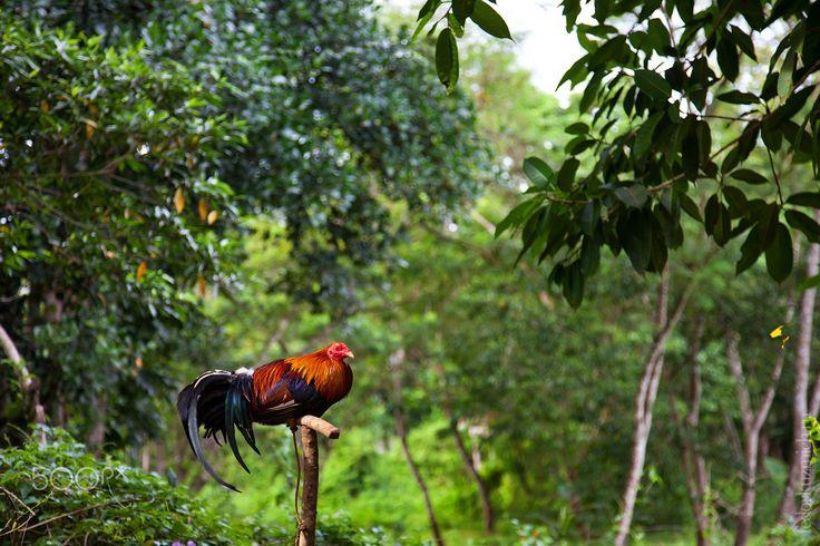 Fighting cock - Bohol Island, Philippines Travel project: http://fedorkuzmich.ru/