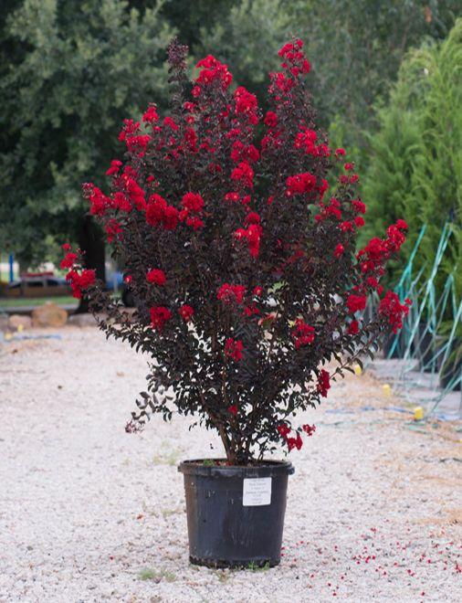 Black Diamond Crepe Myrtle Trees Myrtle Tree Crepe