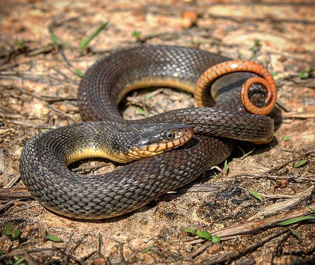 A Plain Bellied Water Snake Nerodia Erythrogaster Displaying A Common Defense Mechanism Used By Snakes By Curling It S Tail Snake Animal Behavior Instagram