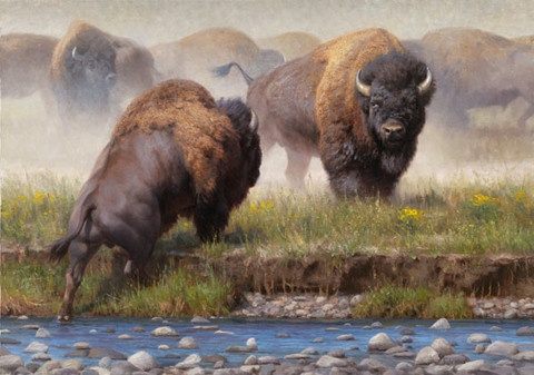 Here in the Black Hills this scene is not at all uncommon.  What is uncommon is this young artists ability to capture the raw strength and ferocity of bison bulls gathering for a fight. The muscled plains bison are very dangerous, sometimes attacking just because they are in a bad mood. http://www.dakotanature.com/products/yellowstone-face-off