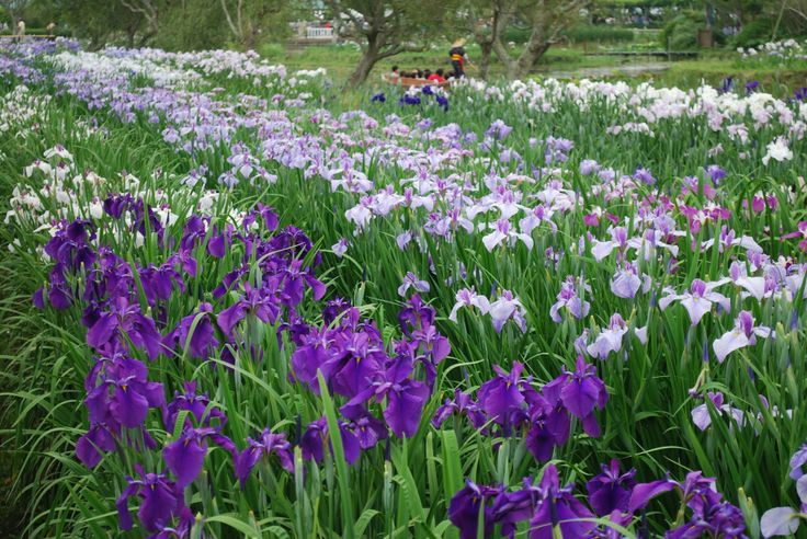 Japanese Iris, Iris ensata