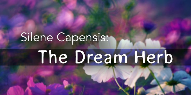 Silene Capensis has been used for many years in South Africa by various tribes. It is a white flower that only opens at night and when it does it releas...