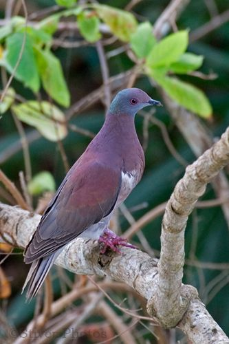 Pale-vented pigeon -    (Patagioenas cayennensis) It is a resident breeder from southern Mexico south to Bolivia and northern Argentina and on Tobago and Trinidad, although it is very localised on the latter island.