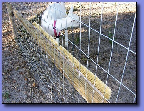 #goatvet says take care before you do this that that part of the fence is very strong- but I am sure these goats enjoy it
