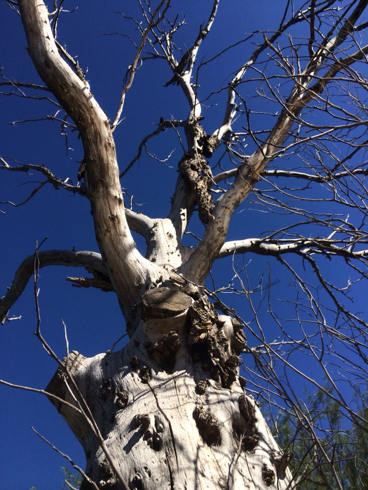 An old dead tree silouhetted against the blue sky