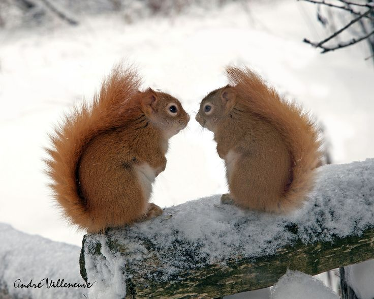 """I'd love to see some pretty little red squirrels like these cuties. I only see common Eastern gray squirrels where I live. """"Touch my nose"""" by Andre Villeneuve, via 500px"""