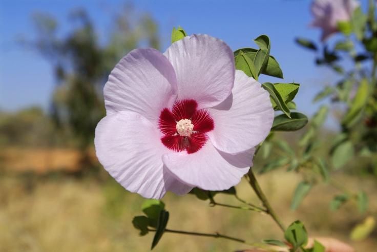 Desert Rose - Just stunning!