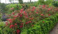 Callistemon rigidus - Rince-bouteilles - Jeune Plante en godet